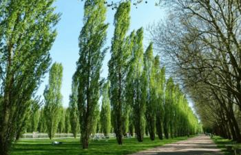 Presentación sobre las oportunidades del cultivo de álamo en Chile