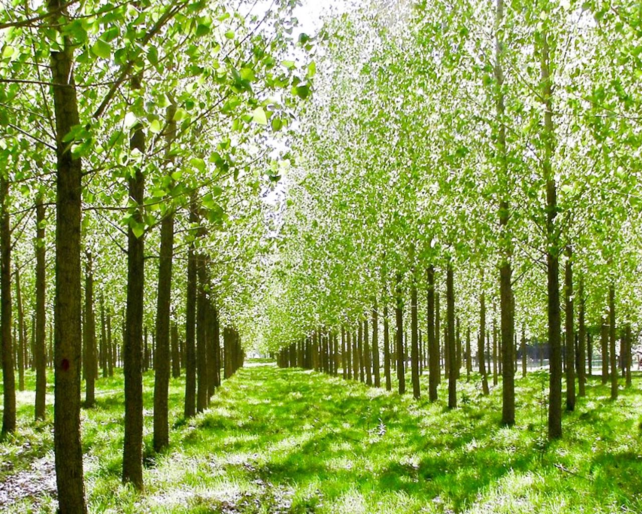 Destacan propiedades y oportunidades productivas de la madera de álamo