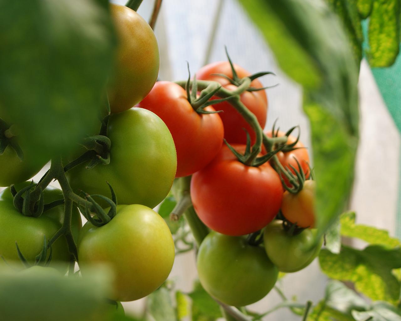 Estudian la prevención para enfermedades cardiovasculares en componentes naturales como el tomate y el maqui