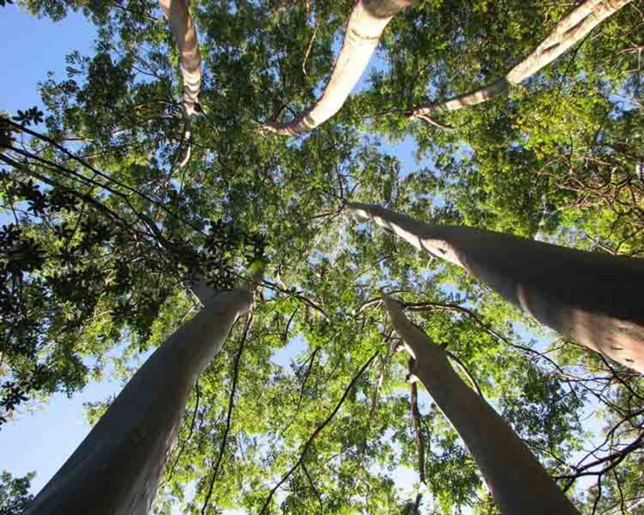 Técnica permite predecir productividad y calidad que tendrán los Eucaliptus