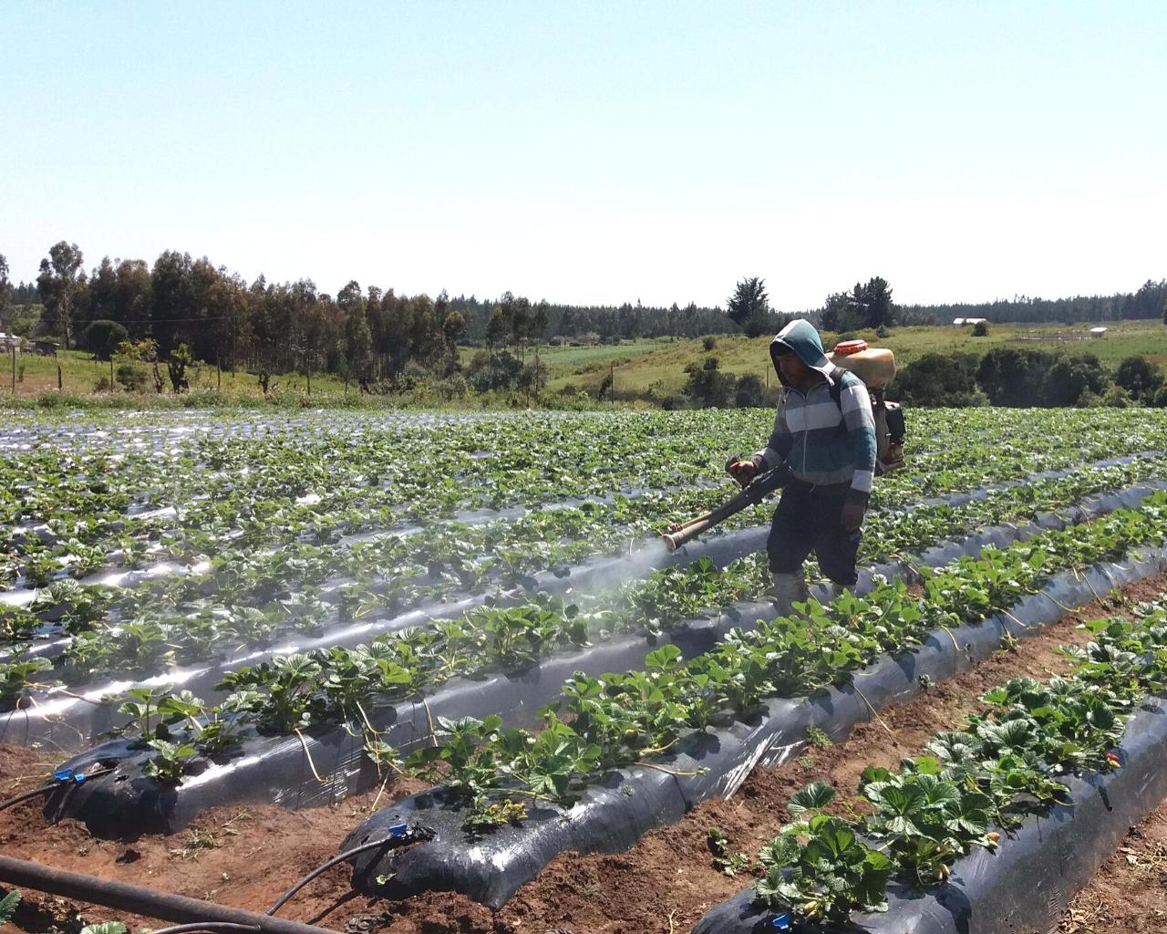 Advierten que malas prácticas en el uso de plaguicidas afectan la inocuidad de los alimentos