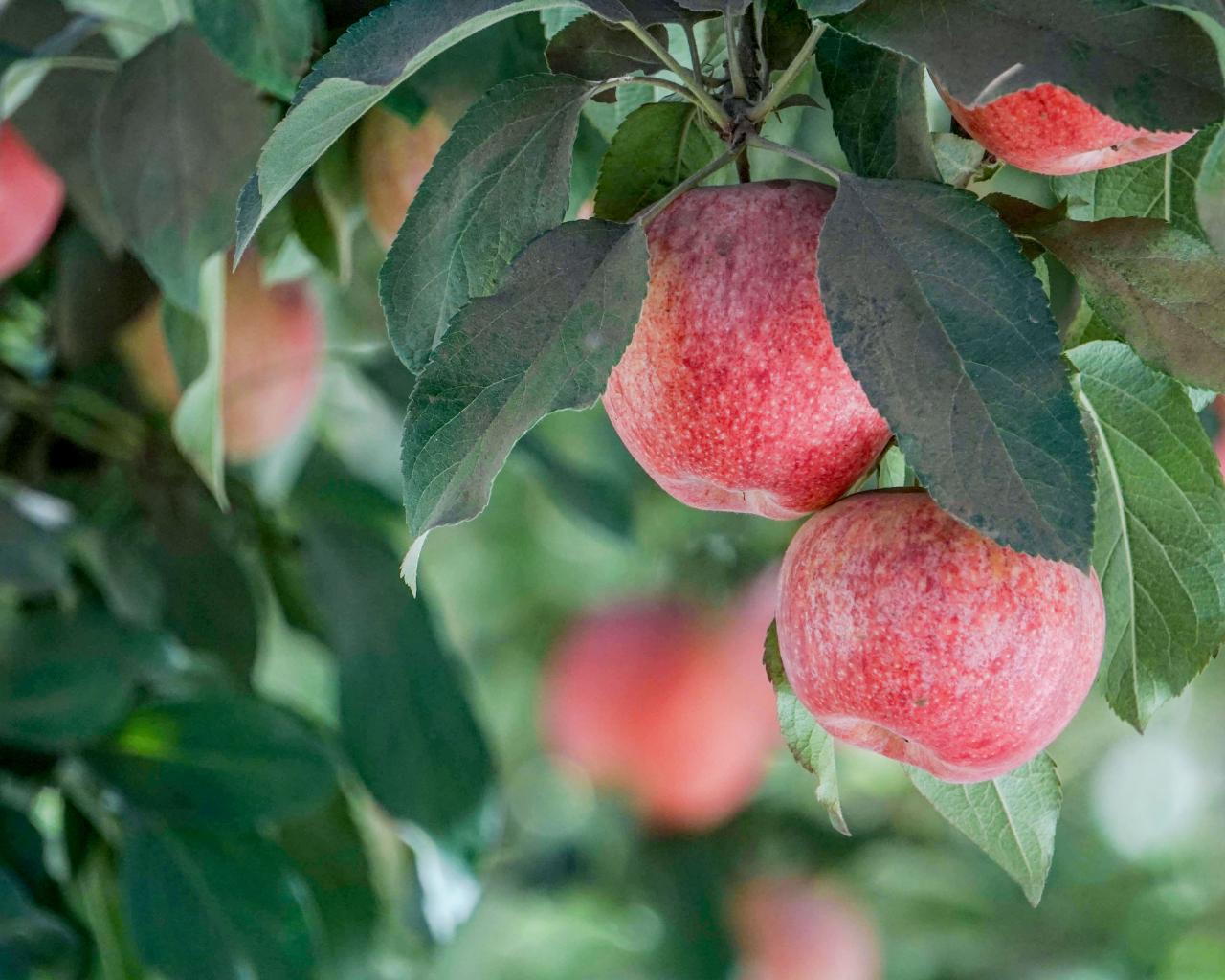 Universidad logra primer licenciamiento internacional mediante creación de tecnología para conservar manzanas y peras postcosecha